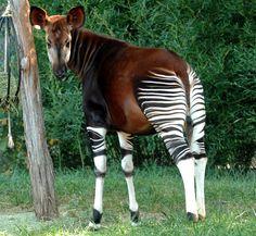 11 Best Okapi images in 2014 | Okapi, Giraffes, Beautiful Creatures