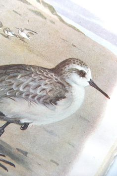 Sanderling - Antique Sea Bird Picture