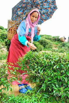Puttabong Tea Garden