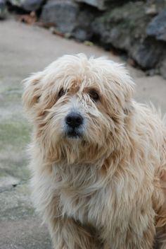 Cão de Raça Barbado da Terceira - Açores - Portugal