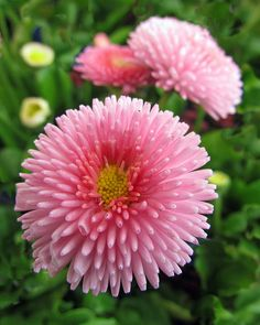 Pretty Pink English Daisies