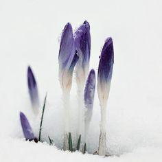 crocus emerging through the snow Flora Flowers, Purple Flowers, Wild Flowers, Winter Flowers, Spring Sign, Winter Beauty, Winter Wonder, Winter Garden, Beautiful World