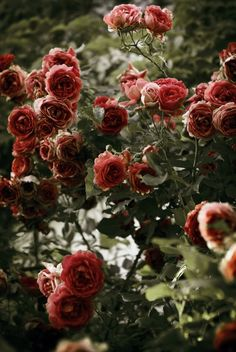 I see trees of green, red roses too I see them bloom for me and you And I think to myself what a wonderful world. Beautiful Roses, Beautiful Gardens, Beautiful Flowers, Pretty Roses, Beautiful Images, Gray Garden, Ronsard Rose, Beauty And The Beast, Red Roses