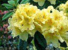Azaleodendron Broughtoni Aureum