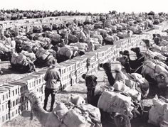 Camel Transport Corps companies loaded to convoy supplies forward to the divisional trains Deiran railhead, September 1917 Australian War Memorial 801612 Chapter 14 World War 1