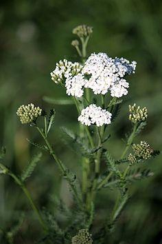 Dandelion, Flowers, Green, Plants, Dandelions, Plant, Taraxacum Officinale, Royal Icing Flowers, Flower