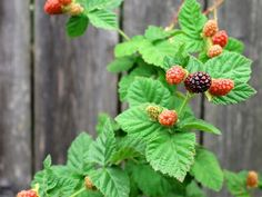 The boysenberry is an interesting fruit that is a cross between four berries, which are the American dewberry, the European raspberry, the European blackberry, Growing Goji Berries, Growing Blueberries, Maple Grove Farms, Types Of Berries, Raspberry Plants, Blueberry Plant, Fruit Preserves, Gardening For Beginners, Fruit Trees