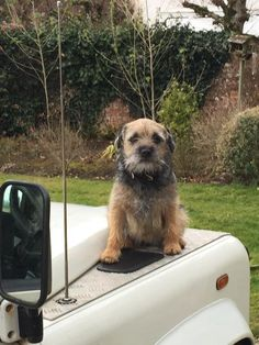 is that a border terrior or is it a border terrior crossed with something else ? Border Terrier Puppy, Terrier Dogs, Best Dog Breeds, Best Dogs, Cute Boarders, Funny Dogs, Cute Dogs, Patterdale Terrier, Donkeys