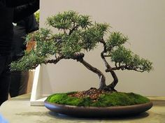 27 year old rosemary bonsai photo by Andrew