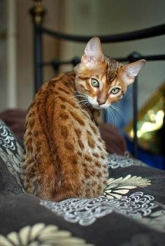 Bengals are not that rare, with almost 60,000 of this breed all over the world. Its beauty, however, was enough for an Englishwoman named Cindy Jackson to pay $42,000 for a Bengal cat in 1998.