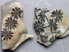 Fossilized plants of the Pennsylvanian subperiod of the Carboniferous