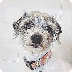 Orange, CA - Yorkie, Yorkshire Terrier Mix. Meet Nalah, a dog for adoption. http://www.adoptapet.com/pet/15159253-orange-california-yorkie-yorkshire-terrier-mix #yorkshireterrier