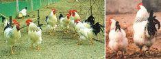 Ermellinata di Rovigo coch and hen