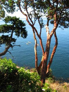 Madrona trees; photo by Annie Howell-Adams