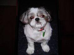 Reward For Shihtzu Dog Missing From Picnic Point Caravan Park Mathoura Nsw 2710 Losing A Dog Dogs Caravan Park