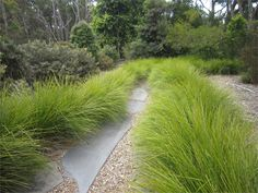 """- Gardening Basket Grass Basket Grass, Lomandra: """"Your Best Mate"""" I& not much for tough guys; I prefer the sensitive artist type—except when it comes to perennial grasses. I admit Australian Native Garden, Australian Plants, Perennial Grasses, Ornamental Grasses, Landscape Architecture, Landscape Design, Garden Design, Lomandra, Coastal Gardens"""