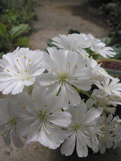冬越ししたレウイシアの3番目の花。こちらは夏越しが難しい高山植物
