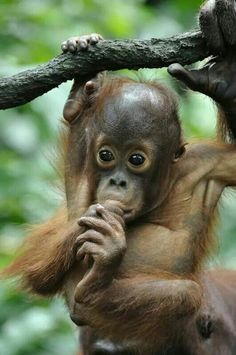 A baby orangutan takes thumb-sucking to a new level thanks to prehensile feet. Primates, Cute Baby Animals, Animals And Pets, Beautiful Creatures, Animals Beautiful, Baby Orangutan, Sumatran Orangutan, Cute Monkey, Wale