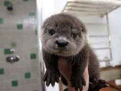 This baby otter who has the most kissable paws on Earth.