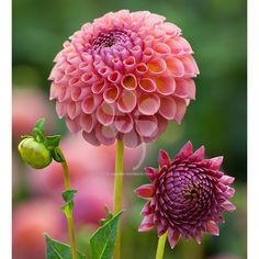 Dahlia 'Jowey Winnie', a smoky terracotta pink - ideal to arrange with. Long vase life. Pick yours today.