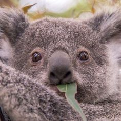 This koala was made for cuddling! #thisisqueensland by @sabbiak