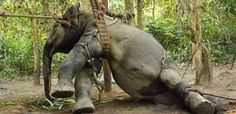 elephant abuse   Tumblr