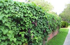10 Vines for Shade—Vines That Grow Well in Shade - EnkiVillage - Dutchman's Pipe - This is a strange one. Technically they may flower but not every year and maybe not at all. If you do catch them doing it then the blooms would be tiny and hidden under the foliage. This is sold as a non-flowering vine. They grow nice and full and can grow high to low with a waterfall cascade.