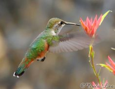 Flying Hummingbird Photography, Rufous Humming bird & red Indian Paintbrush flower photo, rustic wall decor, 5x7 fine art print. $15.00, via Etsy.