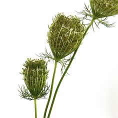 queen anne's lace (mary jo hoffman) [carrot, Queen Anne's lace, Daucus carota, Apiaceae]