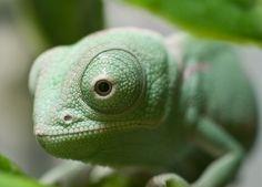 Veiled Chameleon Baby by Chris