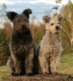 Pumi - hungarian dog breed