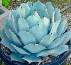 Agave Parryi Turncata