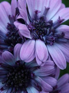 purples     ❀ ✿ ❁ ✾