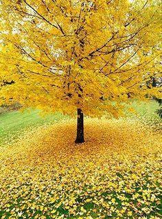 Gingko Tree in the Autumn