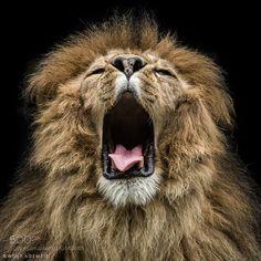 yawn by WolfAdemeit #animals #animal #pet #pets #animales #animallovers #photooftheday #amazing #picoftheday