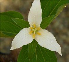 Western trillium. The Wild Garden: Hansen's Northwest Native Plant Database