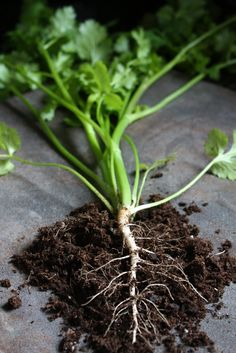 How to Grow Coriander for the Roots to Use in Thai Cooking - SheSimmers