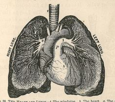 Right Lung | Left Lung