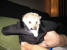 In conclusion, a hedgehog wearing clothes is a happier and healthier hedgehog*. | How To Dress A Hedgehog For Halloween