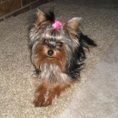 """Yorkshire Terriers, or ""Yorkies"", are an excellent choice for an indoor companion dog. What began as a breed to hunt rats in the factories of 18th Century England soon grew to be one of the most popular breeds on our list. Currently they're the 6th most popular pure-breed in the United States."""