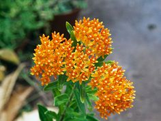 The name says it all—Butterfly Weed (Asclepias tuberosa) is a small milkweed species and a favorite of monarch butterflies. Its cheery orange flowers evoke their coloring, too. 'Hello Yellow,' a cultivar that comes in canary, grows up to 30 inches high and 18 inches wide in Zones 3 to 9.