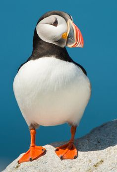 Puffins are wonderful little birds! (From Peachpit author Tom Bol -- a cute Atlantic Puffin from his recent Canada trip!)