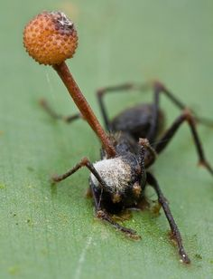 'Zombie Ant' being controlled by the evil fungus growing inside of it #ants…