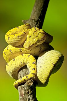 This Green Tree Python looks a little on the yellow side.