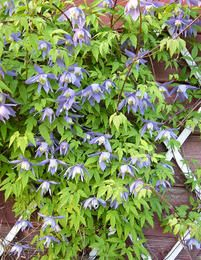 Alppikärhö sininen Home And Garden, Herbs, Flowers, Herb, Royal Icing Flowers, Flower, Florals, Bloemen, Blossoms