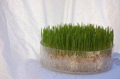 Chic Wheatgrass Soil-less Grow Kit