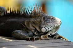 Were sharing #myXPro2 stories all month. Use the hashtag and we could share yours.   Photo by X-Photographer Leigh Miller @iamcertifiedsweet   ========================== I shot this image of an Iguana in Bonaire last summer. He was a regular visitor to the villa while I was thereprobably because I kept feeding him. It was also the first time I was using the X-Pro2 camera. Compared to my XT-1 this was a big step up with the new Auto-Focus system which had no problem keeping up with the…