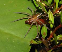 This clever fishing spider (Dolomedes facetus), which can run on water, was caught with a pond fish (of the genus Xiphophorus) in its maw in garden near Brisbane, Australia - Credit: Peter Liley, Moffat Beach, Queensland; Nyffeler, et al