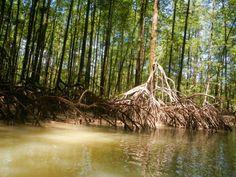 The mangrove close to Playa Nicuesa!  #AdventureTime #Tour #CostaRica