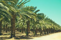 Plantation Date Palm Trees Israel Wall Mural Wallpaper 52 – Jessartdecoration